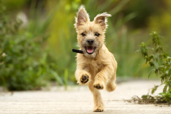 dog looking healthy and running
